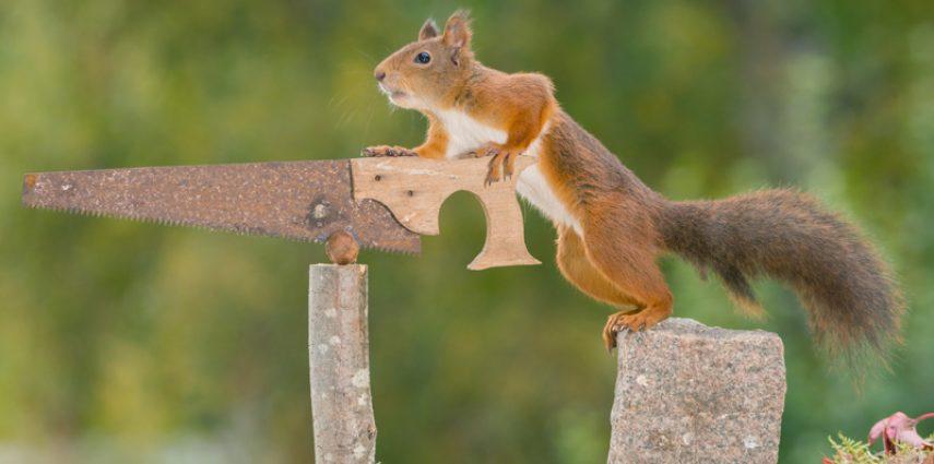 feste Zähne an einem Tag Eichhörnchen mit Säge