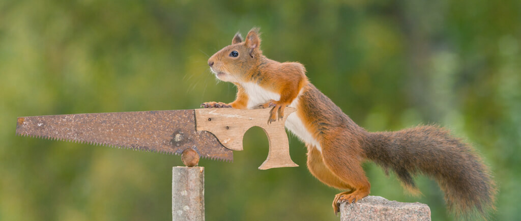 red squirrel holding a nut saw